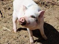 Rekordmange EU-kandidater vil arbejde for dyrevelfærd